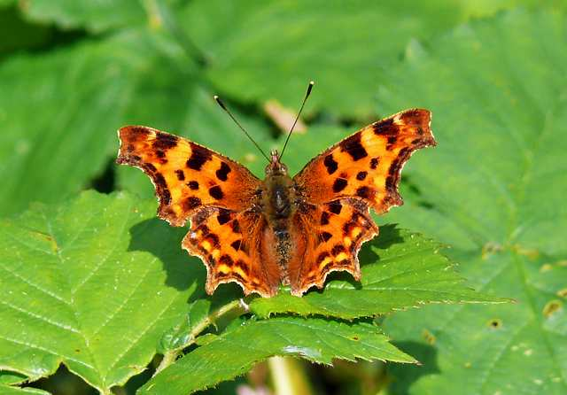Comma Butterfly, Beautiful Butterfly Pictures, Beautiful Butterfly
